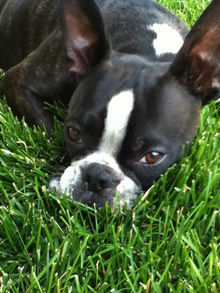 training a boston terrier puppy boston terrier dog training denver wag train 2222