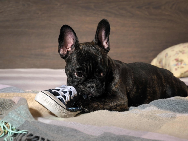 Resultado de imagen para french bulldog chew shoes