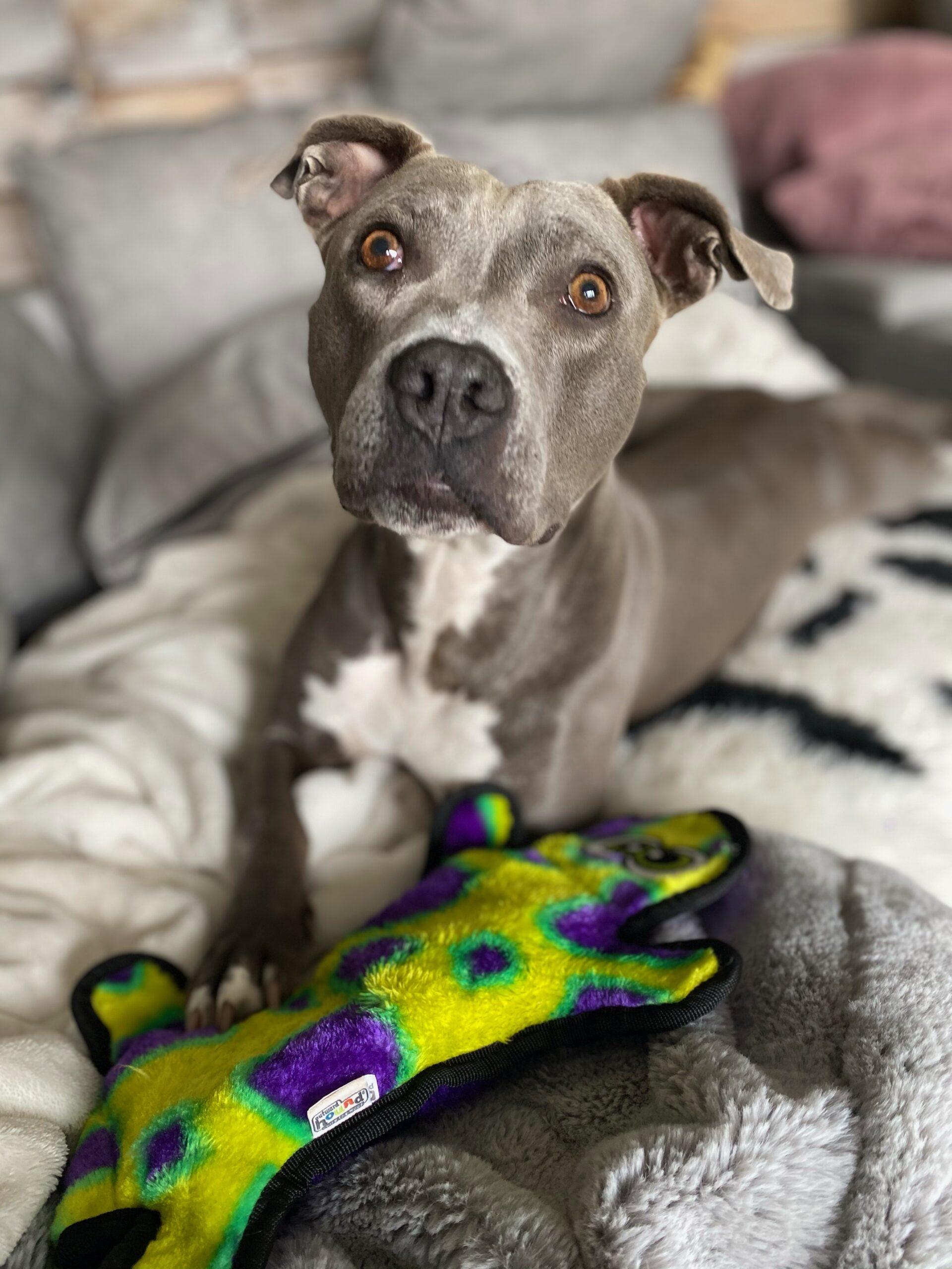 Ayla – An adorable adoptable Pit Bull